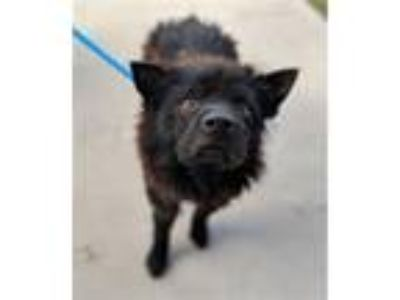 Adopt Edison a Terrier (Unknown Type, Medium) / Chow Chow / Mixed dog in