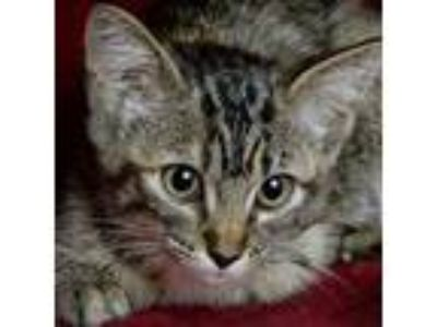 Adopt Tess a Domestic Short Hair