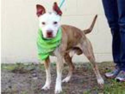 Adopt SPARKY a Brindle - with White American Pit Bull Terrier / Mixed dog in