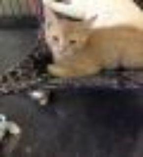 Jane Domestic Short Hair Cat