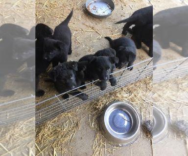 German Shepherd Dog PUPPY FOR SALE ADN-130539 - Black German Shepherd Puppies