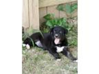 Adopt Steffy a Black - with White German Shepherd Dog / Border Collie / Mixed