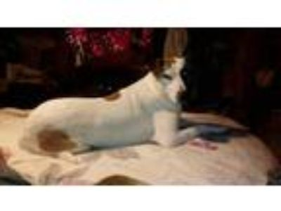 Adopt Lucy a Collie / Labrador Retriever / Mixed dog in Dana Point