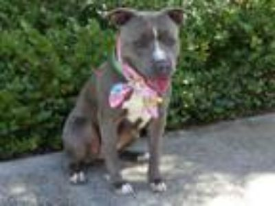 Adopt NORA a Pit Bull Terrier