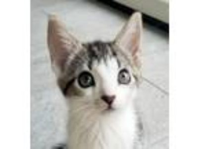 Adopt Cupcake a Domestic Short Hair