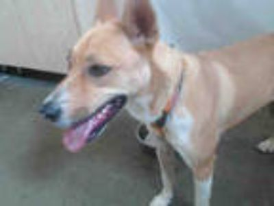 Adopt SUNNY a Red/Golden/Orange/Chestnut - with White German Shepherd Dog /