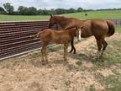 Aaa Producer by Some Dasher with foal bred back