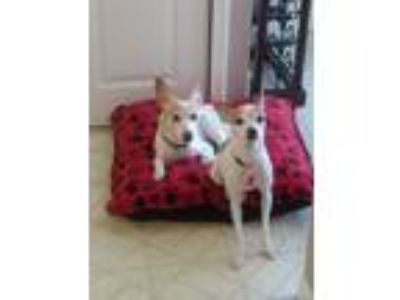 Adopt Forest & Jenny a White - with Brown or Chocolate Toy Fox Terrier / Mixed