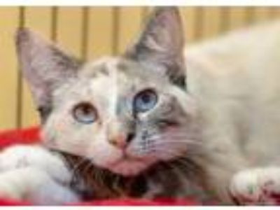 Adopt Sky/Pinky a White Siamese / Domestic Shorthair / Mixed cat in Palm