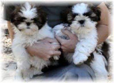 Beautiful Pedigree Shih Tzu Puppies