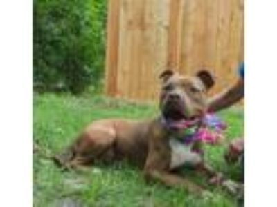 Adopt Brownie - Beautiful!!! a Pit Bull Terrier