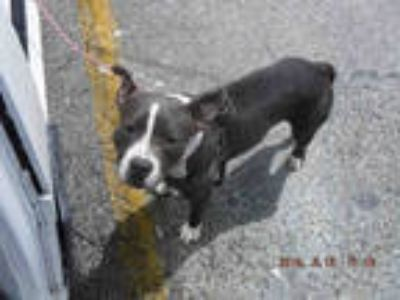 Adopt BRACE a Gray/Silver/Salt & Pepper - with White American Pit Bull Terrier /