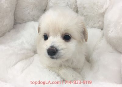 Maltipoo PUPPY FOR SALE ADN-78658 - Maltipoo male Tyson