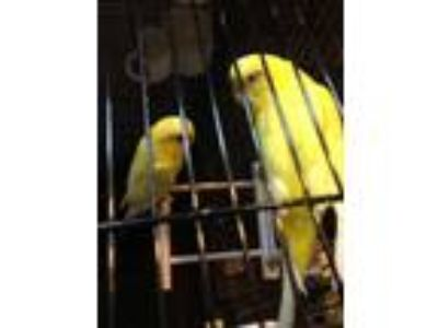 Adopt Melon a Parakeet (Other)