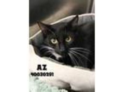 Adopt Az a All Black Domestic Shorthair / Domestic Shorthair / Mixed cat in