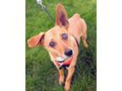 Adopt Cody a Tan/Yellow/Fawn Dachshund / Mixed dog in Chester Springs