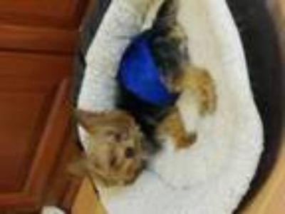 Adopt Paxton a Yorkshire Terrier