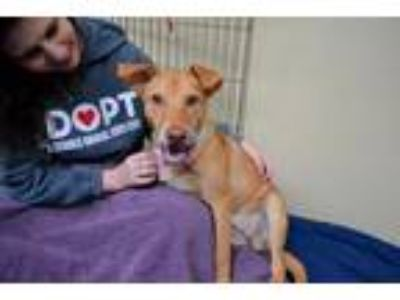Adopt Meredith a Red/Golden/Orange/Chestnut Labrador Retriever / Mixed dog in