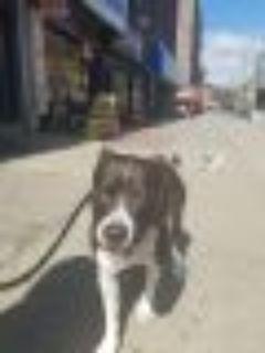 Diesel Pit Bull Terrier Dog