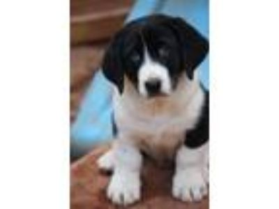 Adopt willy a Black - with White Basset Hound / Mixed dog in Prince William