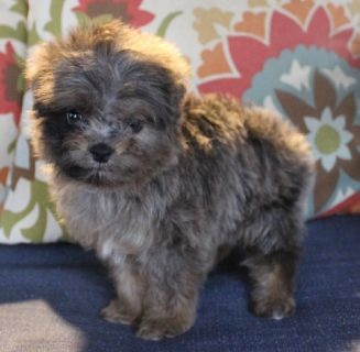 Aussiedoodle PUPPY FOR SALE ADN-63475 - TINY TOY registered aussiedoodle
