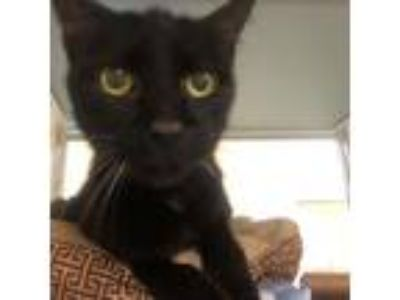 Adopt Maximus a All Black Domestic Longhair / Domestic Shorthair / Mixed cat in