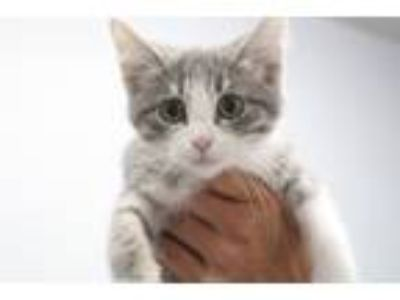 Adopt Pammy a Gray or Blue (Mostly) Domestic Shorthair (short coat) cat in Reeds