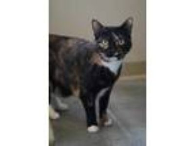 Adopt Jazz a Orange or Red Domestic Shorthair / Domestic Shorthair / Mixed cat