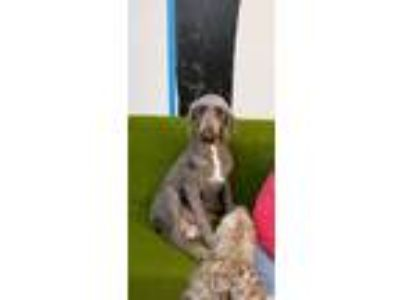 Adopt Tira a Brown/Chocolate - with White Poodle (Standard) / Mixed dog in