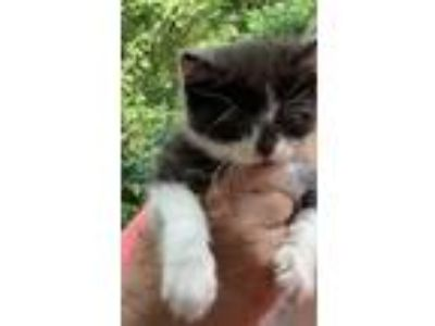 Adopt Norma Jean a Black & White or Tuxedo Domestic Shorthair cat in