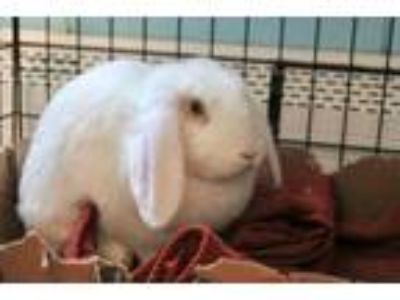 Adopt Snowflake a American Fuzzy Lop