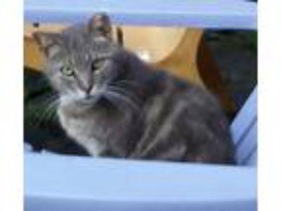 Adopt GHOST a American Shorthair, Domestic Short Hair