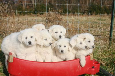 Great Pyrenees PUPPY FOR SALE ADN-109725 - Great Pyrenees puppies in Northern Virginia