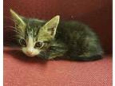 Adopt Lance a Brown Tabby Domestic Shorthair / Domestic Shorthair / Mixed cat in