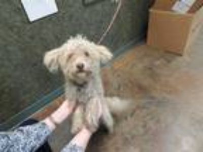 Adopt LUKE a Brown/Chocolate Poodle (Miniature) / Mixed dog in Lacombe
