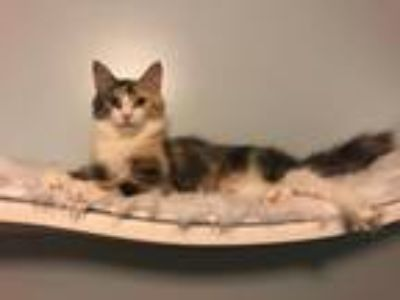 Adopt Calissa a Domestic Longhair cat in Washington, DC (25879495)