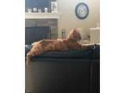 Adopt Jack a Orange or Red Domestic Shorthair / Mixed (short coat) cat in