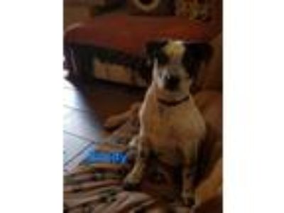 Adopt Brady a Australian Cattle Dog / Blue Heeler
