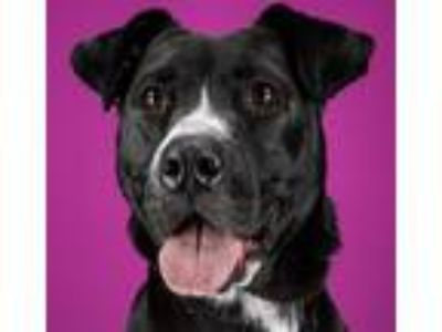 Adopt Remi a Pit Bull Terrier / Labrador Retriever / Mixed dog in LAFAYETTE