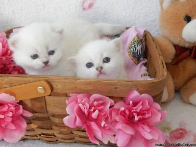 Purebred British Short Hair Kittens blue eyes