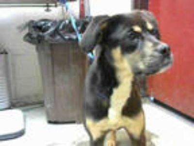 Adopt BLITZ a Black - with Tan, Yellow or Fawn Rottweiler / Mixed dog in