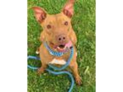 Adopt Kolinda a Pit Bull Terrier / Mixed dog in Columbus, OH (25343461)