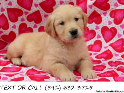 (&^% Truthful Golden Retriever Puppies Available