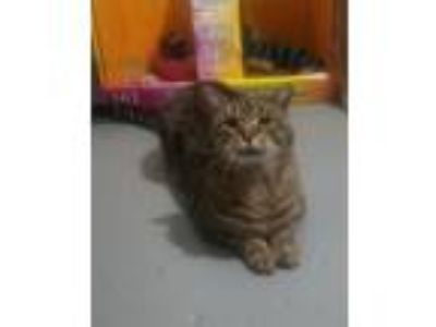 Adopt Titan a Domestic Short Hair