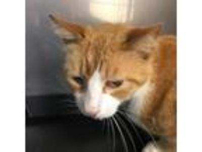 Adopt Garfield 19-05-117 a Orange or Red Domestic Shorthair cat in Bastrop