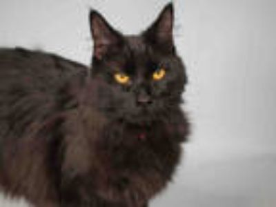 Adopt MARLOW a All Black Domestic Longhair / Mixed (long coat) cat in Loveland