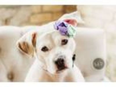 Adopt Lovely a Pit Bull Terrier, American Staffordshire Terrier