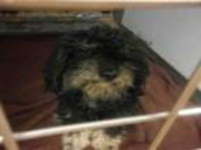 Adopt #TYSON a Poodle, Mixed Breed
