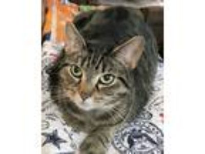 Adopt Eva a Brown Tabby Domestic Shorthair (short coat) cat in Morganton