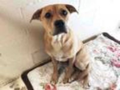 Adopt JANICE a Boxer, Mixed Breed